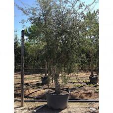 Φελλοφόρος Δρύς Δέντρο - Βελανιδιά Φελλόδεντρο | Φυτά Σκιάς