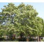 Ακακία Ροβίνια Δέντρο (Robinia pseudoacacia)      kipogeorgiki.gr