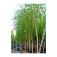 Ιτιά Κλαίουσα Δέντρο (Salix babylonica) | kipogeorgiki.gr