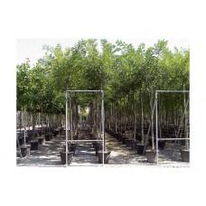 Σοφόρα Ιαπωνική Δέντρο (Sophora japonika)  |  kipogeorgiki.gr