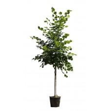 Φλαμουριά Δέντρο - Τίλιο (Tilia platyphyllos) | kipogeorgiki.gr