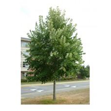 Φλαμούρι Δέντρο - Φιλουριά (Tilia tomentosa) | kipogeorgiki.gr