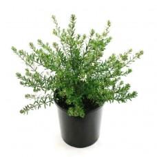 Βεστρίτσια Θάμνος (Westringia fruticosa) | Κηπογεωργική