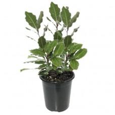 Δάφνη Απόλλωνος Θάμνος (Laurus nobilis) | Κηπογεωργική