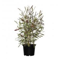 Δωδωναία Θάμνος (Dodonaea viscosa 'Purpurea')