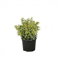 Ευώνυμο Ημιέρπον Δίχρωμο Emerald'n Gold (Euonymus fortunei 'Emerald'n Gold') | Κηπογεωργική