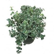 Ευώνυμο Ημιέρπον Δίχρωμο Emerald Gaiety (Euonymus fortunei 'Emerald Gaiety') | Κηπογεωργική