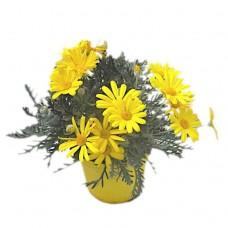 Ευρύωπας ή Μαργαρίτα Κίτρινη (Euryops pectinatus) | Κηπογεωργική