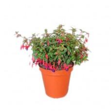 Φούξια Κήπου ή Σκουλαρικιά (Fuchsia magellanica) | Κηπογεωργική