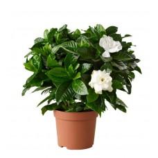 Γαρδένια Θάμνος (Gardenia jasminoides)