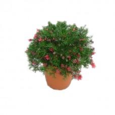 Γρεβιλέα Γιουνιπερίνα Θάμνος (Grevillea juniperina) | Κηπογεωργική
