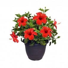 Ιβίσκος Σινικός Θάμνος (Hibiscus rosa-sinensis) | kipogeorgiki.gr