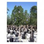 Ιβίσκος ο Συριακός Δέντρο (Hibiscus syriacus) | kipogeorgiki.gr