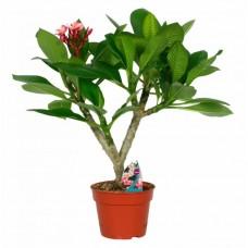 Ινδικό Φούλι Δενδρύλλιο (Plumeria rubra)   kipogeorgiki.gr