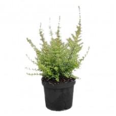 Λονίκερα η Στιλπνή Θάμνος (Lonicera nitida) | Κηπογεωργική