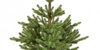 Φυσικά Έλατα σε Γλάστρα για τον Στολισμό του Χριστουγεννιάτικου Δέντρου