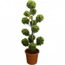 Κυπαρίσσι Λέιλαντ Σχήμα Πον Πον - Pon-pon   Κηπογεωργική