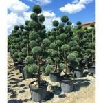 Κυπαρίσσι Λέιλαντ Σχήμα Πον Πον - Pon-pon | Κηπογεωργική