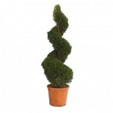 Κυπαρίσσι Λέιλαντ Σχήμα Σπείρας   Κηπογεωργική