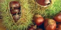 Καστανιά-Καλλιέργεια