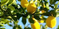 Λεμονιά-Καλλιέργεια
