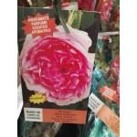 Τριανταφυλλιές αναρριχώμενες  |kipogeorgiki.gr