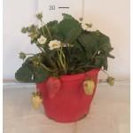 Φραουλιά (Fragaria sp.) |kipogeorgiki.gr