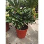 Γαρδένια (Gardenia jasminoides)|kipogeorgiki.gr