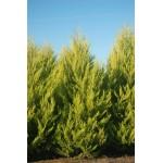 Λεμονοκυπάρισσο Gold Crest (Cupressus macrocarpa var. goldcrest) |kipogeorgiki.gr