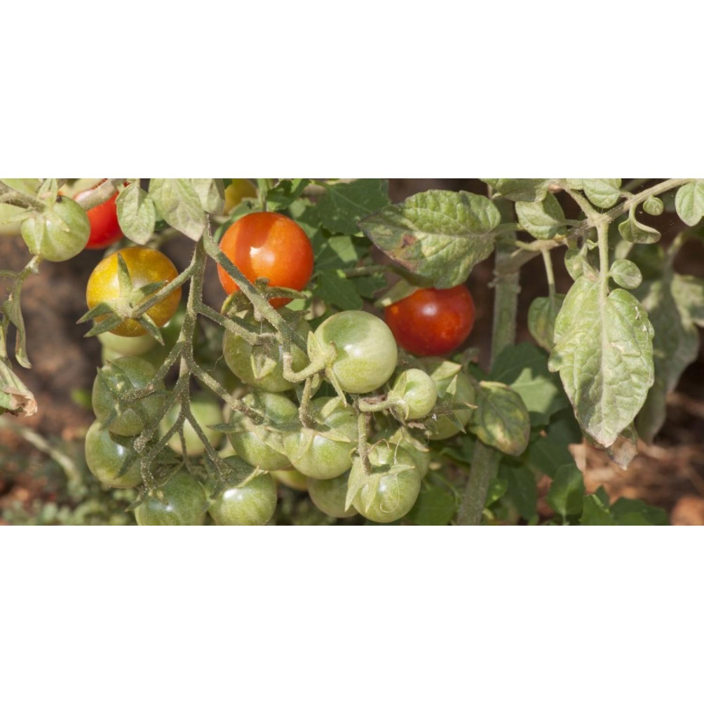 Ντομάτα κόκκινο κεράσι βιολογική kipogeorgiki.gr