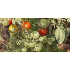 Ντομάτα κόκκινο κεράσι βιολογική|kipogeorgiki.gr