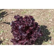 Βιολογικό Μαρούλι Σγουρό Κόκκινο|kipogeorgiki.gr