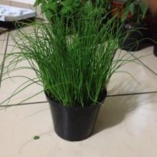 Σχοινόπρασο (Allium Schoenoprasum)|kipogeorgiki.gr