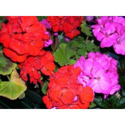 Εποχιακά Φυτά Ετήσια & Διετή