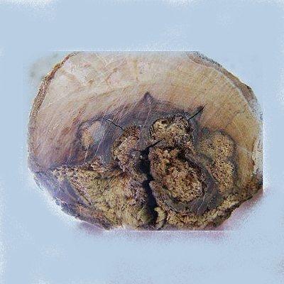Ίσκα της ελιάς (Fomitiporia mediterannea)