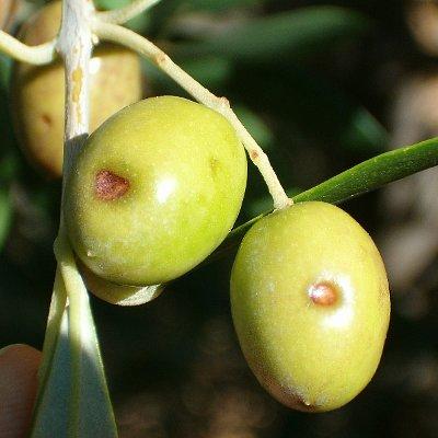 Βούλα της ελιάς (Camarosporium dalmaticum)