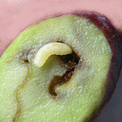 Δάκος (Bactocera oleae)