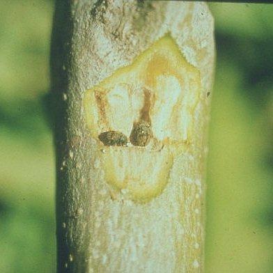 Φλοιοτρίβης (Phloetribus scarabaeoides)