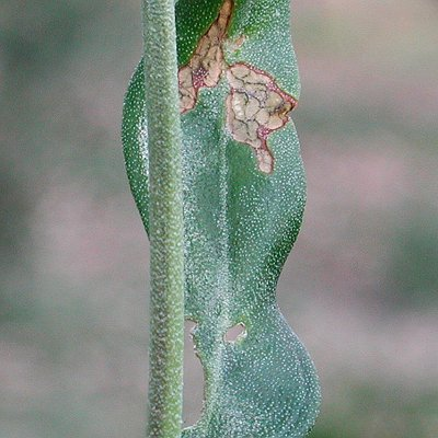 Μαργαρόνια (Palpita unionalis)