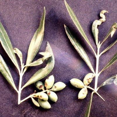 Μαύρος θρίπας της ελιάς (Liothrips oleae)