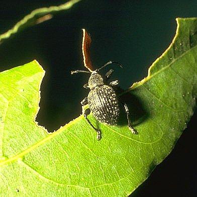 Οτιόρρυγχος (Ottiorhynchus cribicollis)