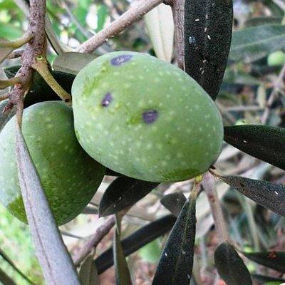 Παρλατόρια (Parlatoria olea)