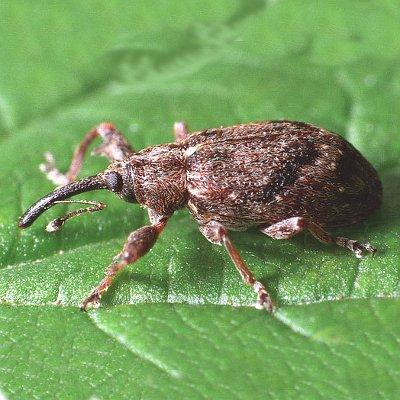 Ρυγχίτης (Coenorrhinus cribripennis)