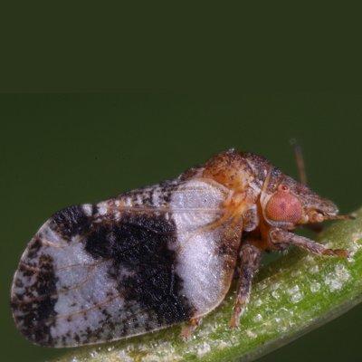 Βαμβακάδα (Euphyllura phillyreae)