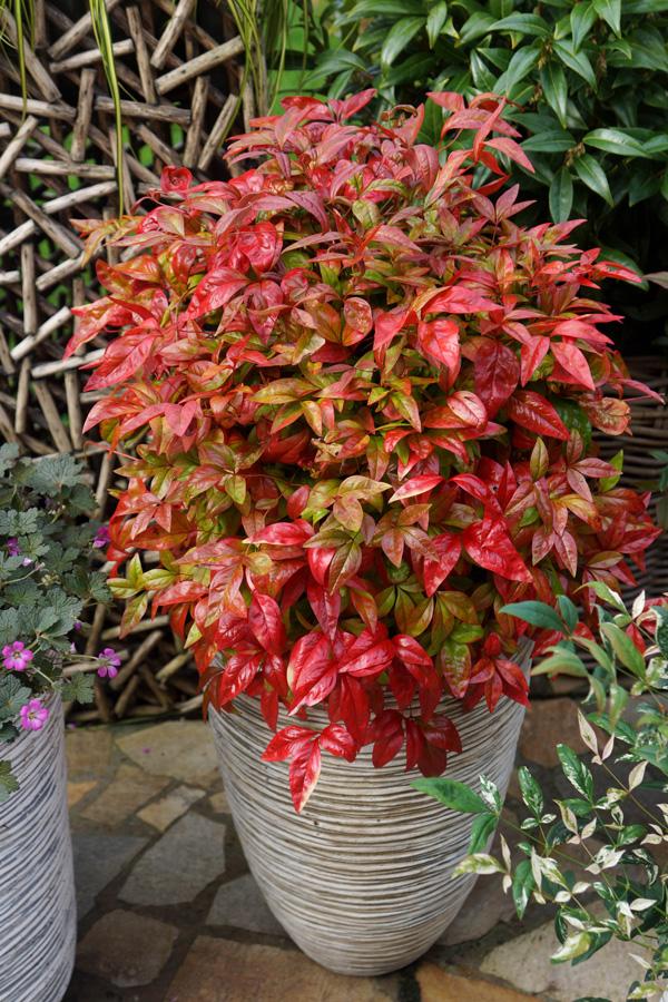 Nadina domestica for Fushia plante interieur ou exterieur